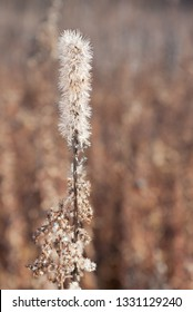 Standing tall, a blazing star rises up in an dying prairie. The flower's white feathery seeds hang onto the plant before being blown away in an autumn breeze.