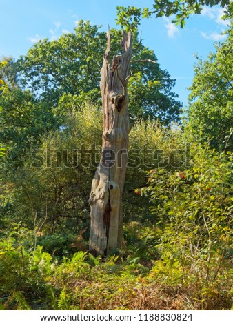 Standing tall in Sherwood forest are the remains of a once proud oak tree, now missing its bark and showing the multicoloured wood underneath