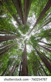 Standing under a canopy of Redwood Trees at Muir Woods National Monument