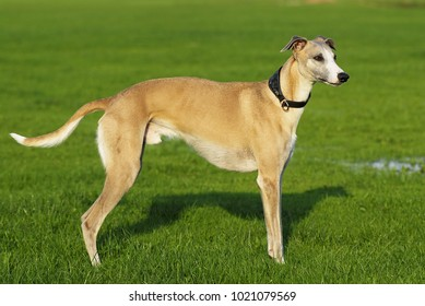 Standing whippet dog in nature