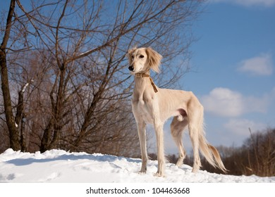 A standing white saluki on snow under blue sky
