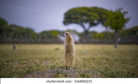 A standing wild meerkat, Botswana Safari, Africa