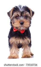 Standing yorkshire puppy with red bow, isolated