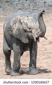 standing young elephant calf with raised trunk at a waterhole, Hwange National Park, Zimbabwe, Africa