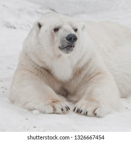 Stands up threateningly Powerful predator polar bear lies in the snow, close-up