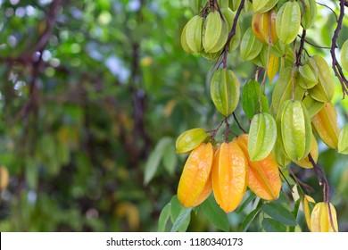 Star apple fruit, Organic Fresh Star fruit or Carambola (Averrhoa carambola) on the Tree