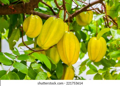 Star apple fruit, Organic Fresh Star fruit or Carambola (Averrhoa carambola) on the Tree, Thailand