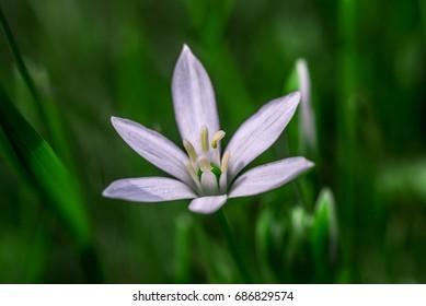 Star of Bethlehem flower in grass