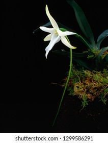 Star of bethlehem orchid