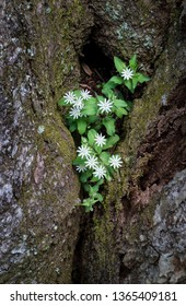 Star chickweed (Stellaria pubera) growing in crevice between two tree trunks.