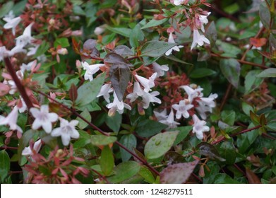 A star flowers