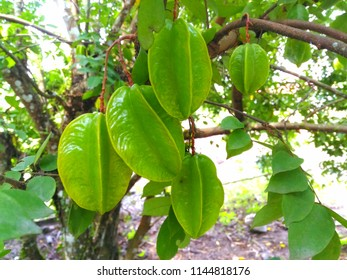 Star fruit (Averrhoa carambola) hanging on the branch.