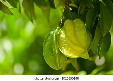 Star Fruit,Carambola,Averrhoa carambola