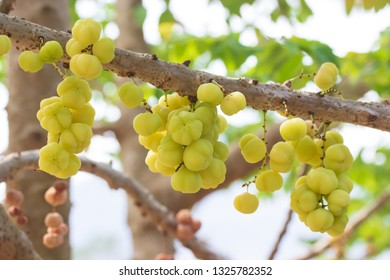 Star gooseberry fruit. Phyllanthus acidus
