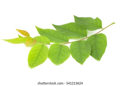 Star gooseberry leaf isolated on white background