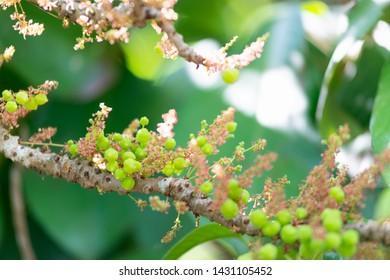 Star gooseberry. Phyllanthus acidus, known as the Otaheite gooseberry, country gooseberry on tree