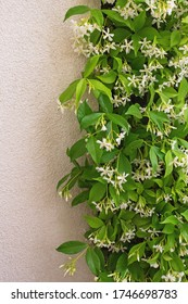 Star Jasmine ( Trachelospermum jasminoides ) in bloom, evergreen liana with green leaves and white flowers. Beautiful floral border, space for text
