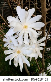 Star Magnolia, Magnolia Stellata, White Blossoms in Spring