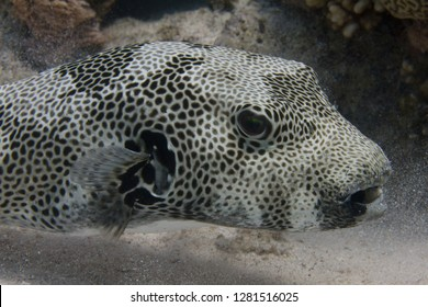 Star Puffer on Coral Reef in Red Sea off Sharm El Sheikh, Egypt