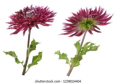 star purple dahlia flower isolate on white