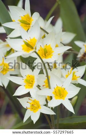 Star Shaped Flowers Beauty Cremeyellow Turkestan Stock Photo Edit