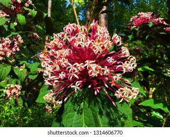 Starburst Cerodendrum flower