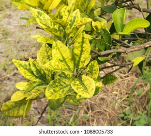 Starch accumulation in an HLB infected leaf generates blotchy mottle in an asymmetrical yellowing pattern in citrus trees orchard heavily infected with huanglongbing yellow dragon citrus greening