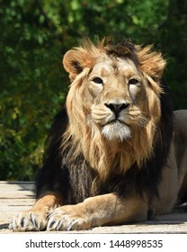 Stare of the Asian lion (Panthera leo persica)