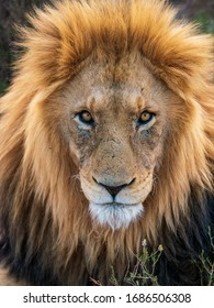 A stare down with this dominant male African lion in South Africa.