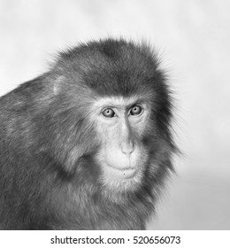 Stare of Japanese macaque male in sunset light. Expressive red face of the monkey family chief. Human like grimace of the excellent animal. Inimitable beauty of the wildlife. Black and white image.