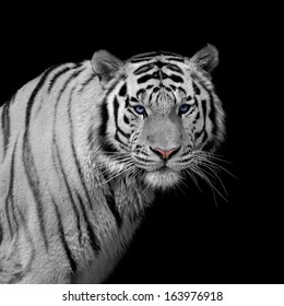 Stare of a severe Siberian Tiger, isolated on black background. The most dangerous beast shows his calm greatness. Wild beauty of a severe big cat