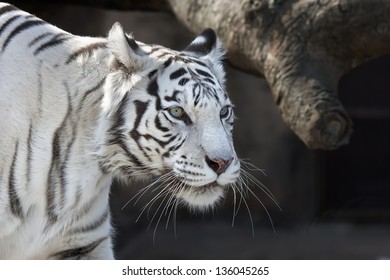 Stare of walking white bengal tigress.
