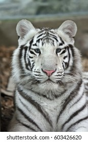 Stare of the white tiger or bleached tiger (Panthera tigris tigris) which is a pigmentation variant of the Bengal tiger