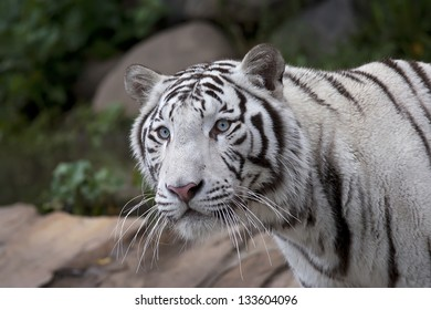 Stare of a white tiger in the forest.