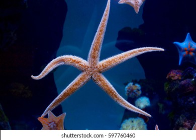 """Starfish All species of sea stars belong to the class of invertebrates and are representative of the type: """"echinoderms""""."""