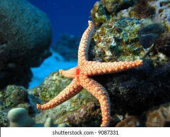 A starfish as if it's kicking. Necklace\pearl Sea Star (Fromia Monilis)