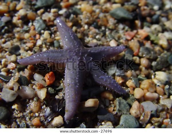 Starfish on the beach in Newfoundland