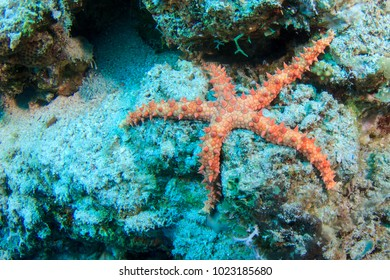 Starfish on the coral reef in the Red Sea, Egypt