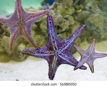 starfish on glass, under of starfish. in fish tank.