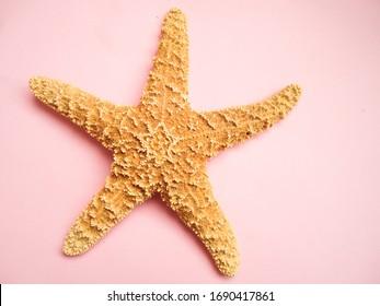 starfish on a light pink background, sea star animal