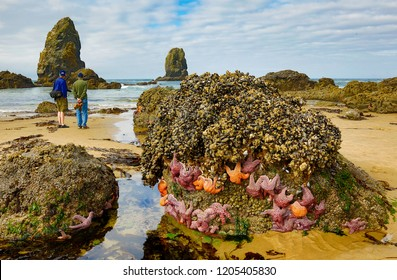 Starfish on rock outcropping at low tide, Pacific Ocean, at Canon Beach. The Needles sea stacks in background.