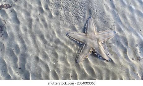 Starfish (sea star) moving on sand beach, animal of the ocean, echinoderms - Shutterstock ID 2034003368