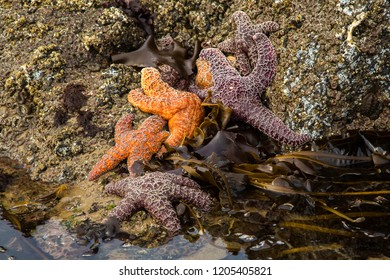 Starfish or sea stars on the beach at low tide at Canon Beach on the Oregon coast