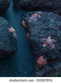 Starfish (Stichaster australis) on Motukiekie beach, New Zealand.