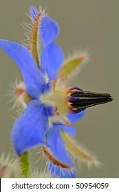 Starflower (Borago Officinalis) Boraginoideae - Macro