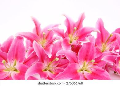 Stargazer Lilies on white background