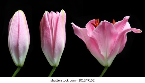 Stargazer Lily time lapse isolated on black