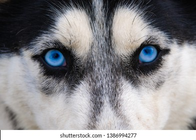 Staring and angry look at the photographer, blue wolf eyes
