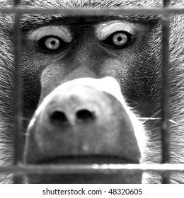 Staring Ape Behind A Cage