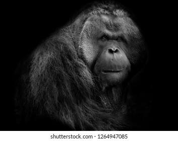 Staring in the eyes Orangutan